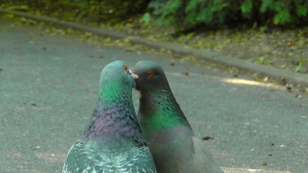 Pigeons, Birds, Bird Pigeon, Dove, Kiss, Romance