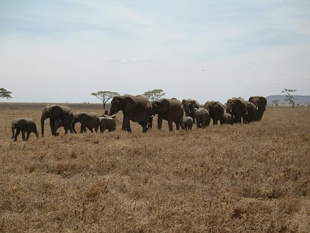Elephants, Tanzania, Line, Row, Large, Small