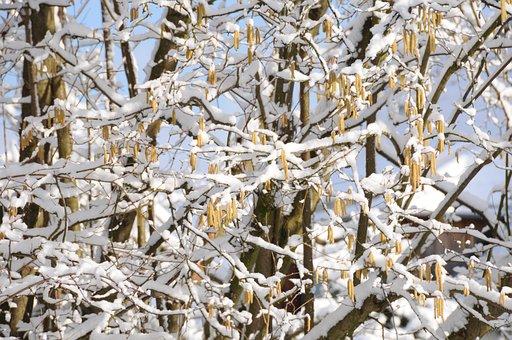 Snow, Spring, Hazelnut, Tree, Blue, Brown, Yellow