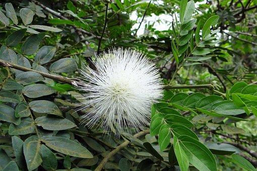 Powder Puff, Flower, Flora, White