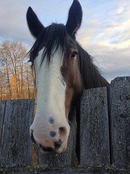 Horse, Clydesdale, Horse Head, Animal, Stallion, Wild