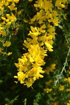 Flower, Genista, Broom, Piorno, Yellow, Cluster