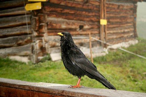 Jackdaw, Bird, Black, Crow, Birds, Corvidae, Animal