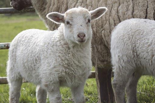 Sheep, Lamb, Animal, Schäfchen, Cute, Animal World