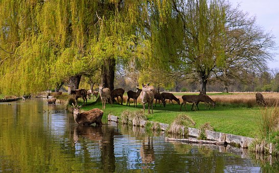 Bushy Park, Deer, Wildlife, Teddington