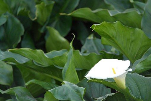 Nature, Green, White, Flower, Calla, Spring, Bloom