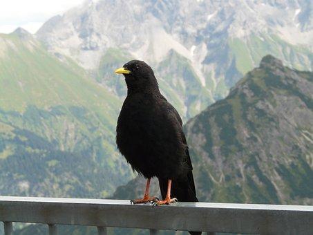 Chough, Pyrrhocorax Graculus, Bergdohle, Jochdohle Bird