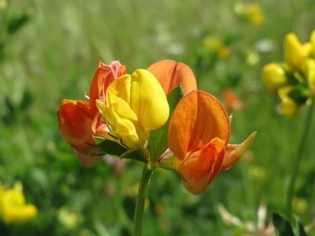 Lotus Corniculatus, Common Bird's-foot Trefoil