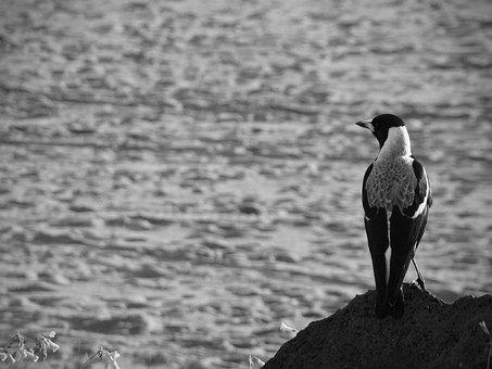 Magpie, Bird, Crow, Corvidae, Coast, Ocean, Holarctic