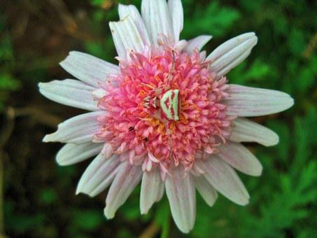 Pink Daisy, Flower, Daisy, Pink, Spider, Crab, White