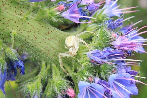 Blue, Close-up, Crab, Flowers, Misumena, Spider, Vatia