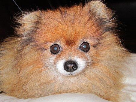 Pomeranian, Orange Color, Dog Breed Dwarf