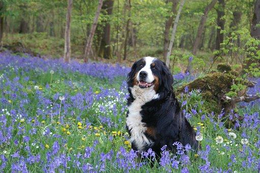 Dog, Bernese Mountain Dog, Forest, Spring, Violet