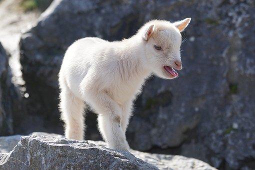 Goat, Dwarf Goat, West Africa, Cute, Pet, Kid