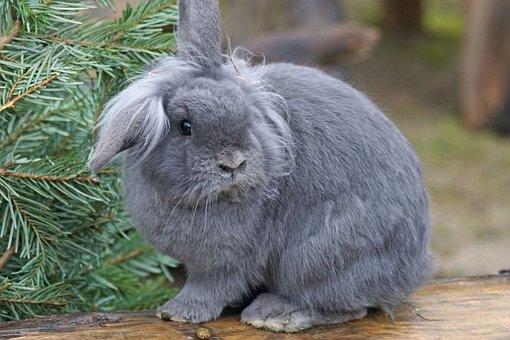 Dwarf Rabbit, House Rabbit, Pet, Domesticated, Animal