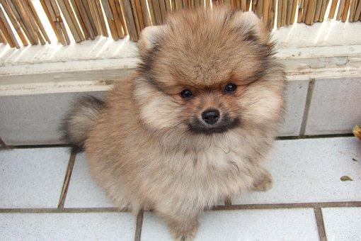 Dwarf Spitz, Pointed, Kleinspitz, Puppy, Dog, Young Dog