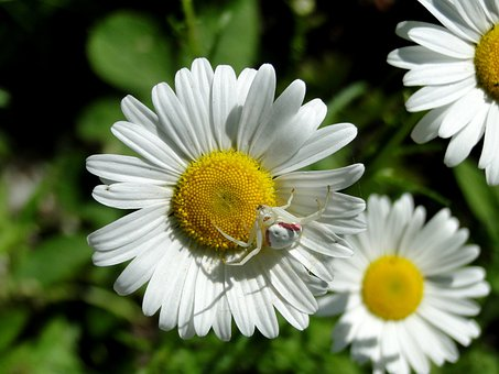 Daisy, Spider, Crab Spider, Flowers, Wildflower, Insect
