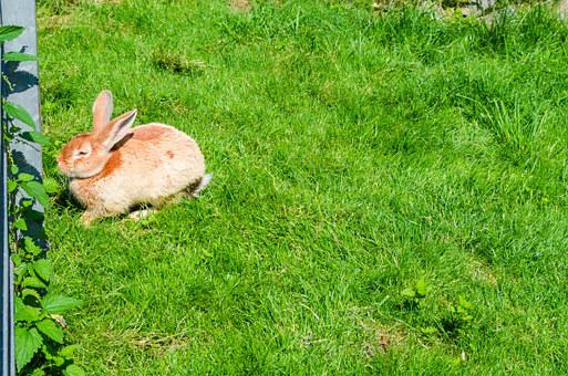 Hare, Rabbit, Animal, Cute, Fur, Meadow, Dwarf Rabbit