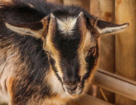 Goats, Lambs, Baby, Animals, Mammals, Furry, Furs