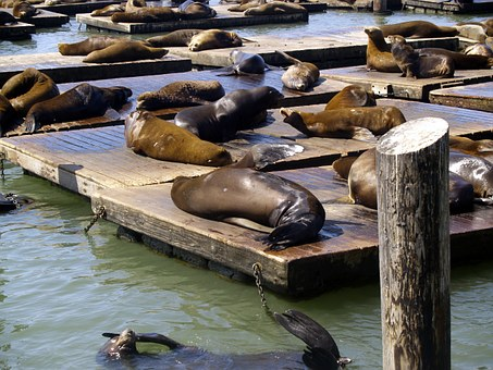 Harbor Seals, San Francisco, California, Usa, Animals