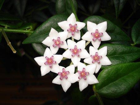 Hoya Bella, Porcelain Flowers, Porcelain Flower, Plants