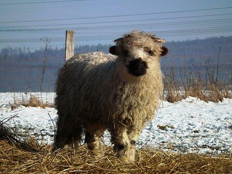 Sheep, Lamb, Walliser Black Nose, Winter, Wool, Sweet