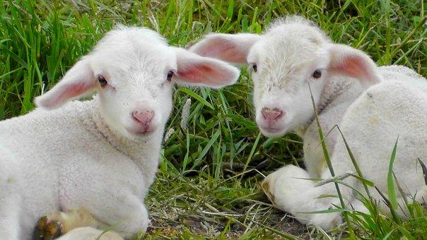 Lambs, Schäfchen, Animals, Sheep, Nature, Animal World