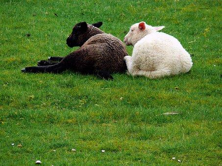 Sheep, Fur, Grass, Hair, Young Sheep, Lamb, Lambs, Mat