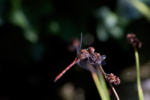 Dragonfly, Dwarf Bulrush, Nature, Insect, Lighting