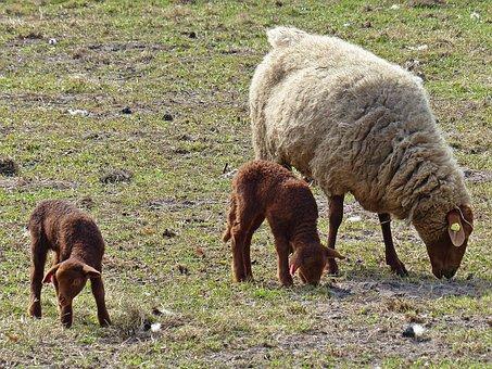Lamb, Sheep, Passover, Schäfchen, Cute, Animal, Wool