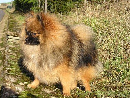 Dwarf Spitz, Pointed, Dog, Pet, Fur, Prick Ears