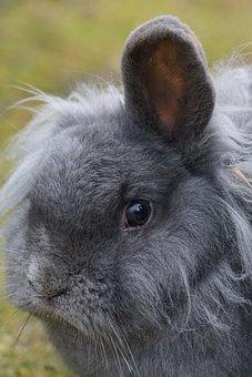 Dwarf Rabbit, House Rabbit, Pet, Domesticated, Portrait
