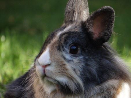 Dwarf Rabbit, Hare, Dwarf Bunny, Nager, Cute, Pet