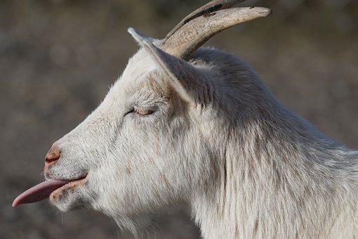 Goat, Dwarf Goat, Africa, Paarhufer, Horned, Pet