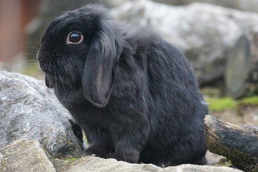 Dwarf Rabbit, Rabbit, Nager, Hare, Pet, Ears, Cute