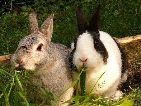 Hare, Rabbit, Nager, Munchkins, Dwarf Rabbit, Pets