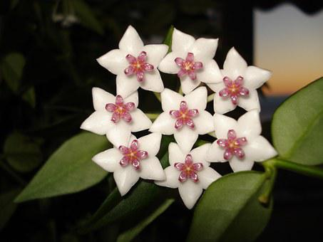 Hoya Bella, Porcelain Flower, Flower, Plants