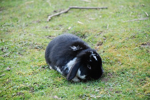 Hare, Rabbit, Black, Floppy Ear, Dwarf Bunny