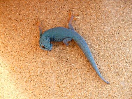 Cerulean, Dwarf Day Gecko, Gecko, Reptile, Wall
