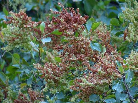Canary-damper, Bush, Plant, Rumex Lunaria, Rumex