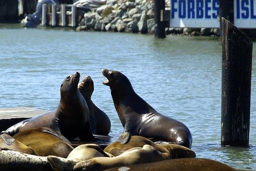 Harbor Seals, Fisherman's Dwarf, San Francisco, Animals
