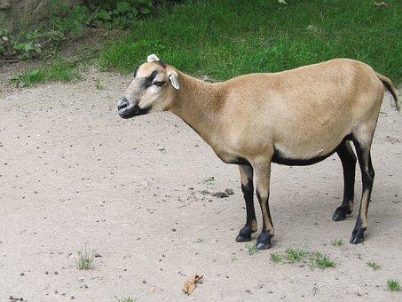 Goat, Dwarf Goat, Sanfrancisco, Domestic Animals