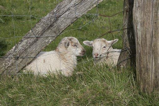 Lambs, Animal, Schäfchen, Sheep, Cute, Animal World