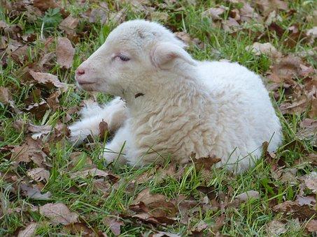 Sheep, Lamb, Small, Baby, Sweet, Nice, Meadow, Leaves
