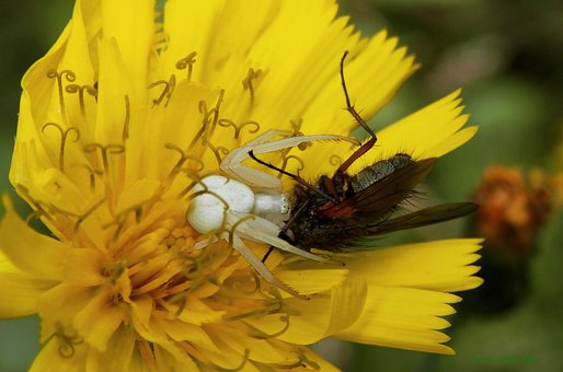 Crab Spider, Spider Eating Fly, Eating Fly, Flower Fly