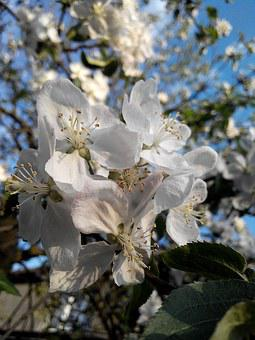 Flower, Apple Tree, Bloom, Spring, Tree, Branch, Sun
