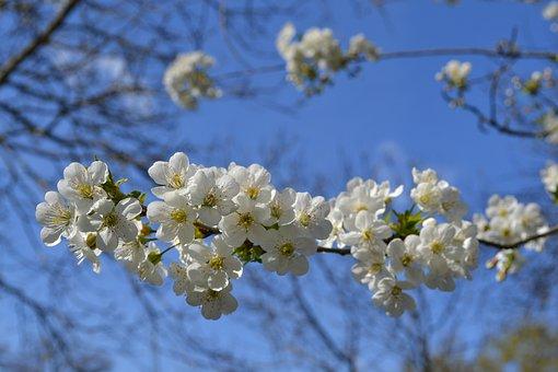 Flower, Flowers, White Flower, White Fiorii, Cherry