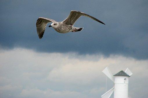 Seagull, Bird, Wings, świnoujście, I Got Mills