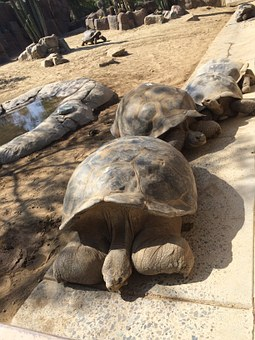 Galapagos, Turtle, Shell, Big, Tortoise, Animal