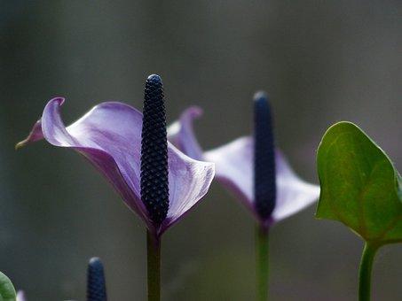 Spathiphyllum, Vaginal Sheet, Flower, Blossom, Bloom